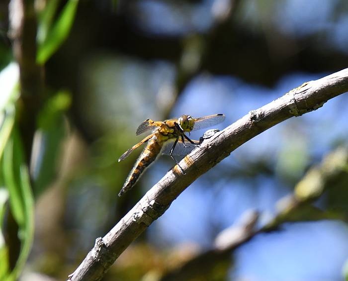 dragonfly fraser foreshore burnaby bc