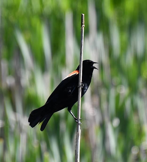 red-winged blackbirds surrey bc
