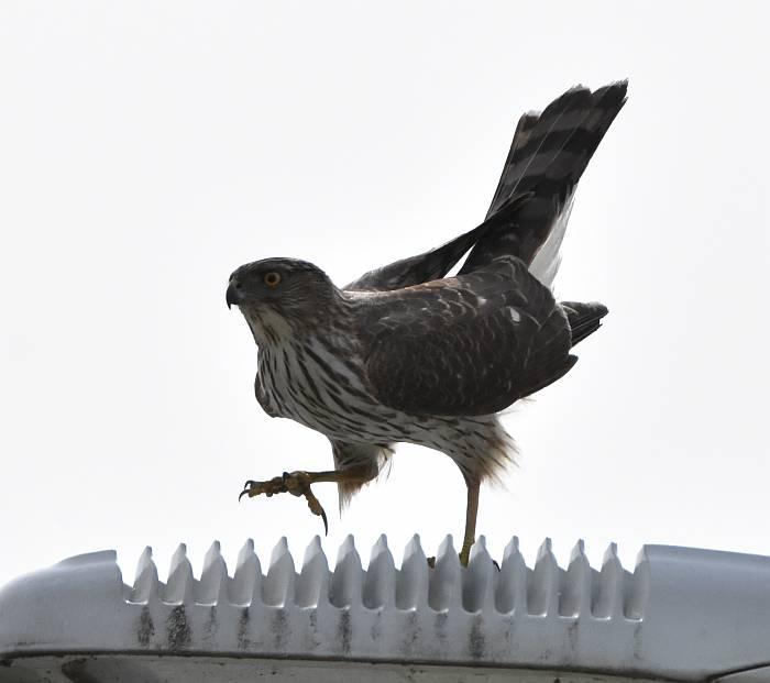 sharp-shinned hawk burnaby bc