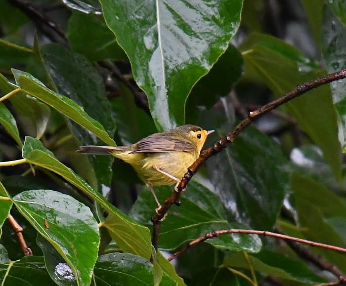 Wilson's Warbler Burnaby BC