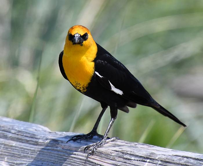 Yellow-Headed Blackbird Iona Beach