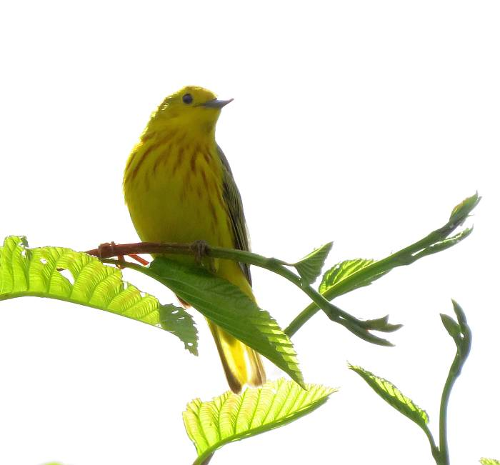 yellow warbler fraser foreshore burnaby bc