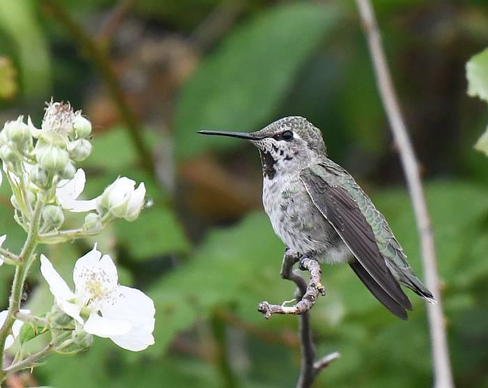 Anna's Hummingbird Delta BC