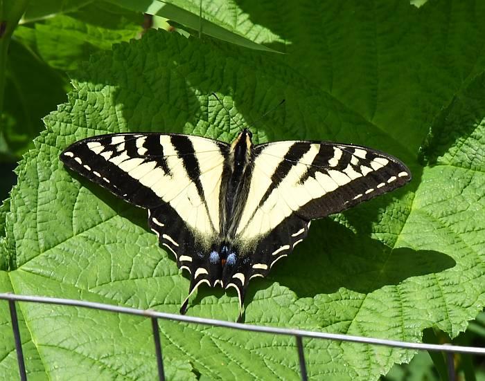 butterfly centennial beach delta bc