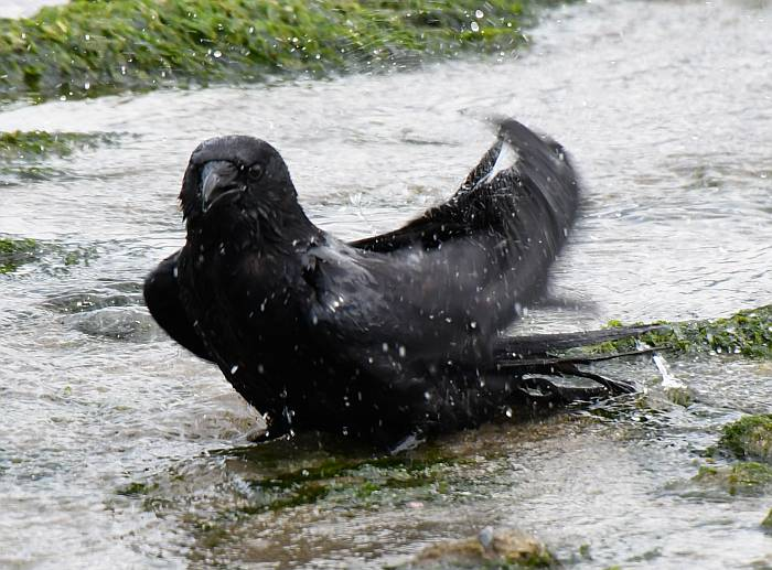 crows bathing spanish banks vancouver