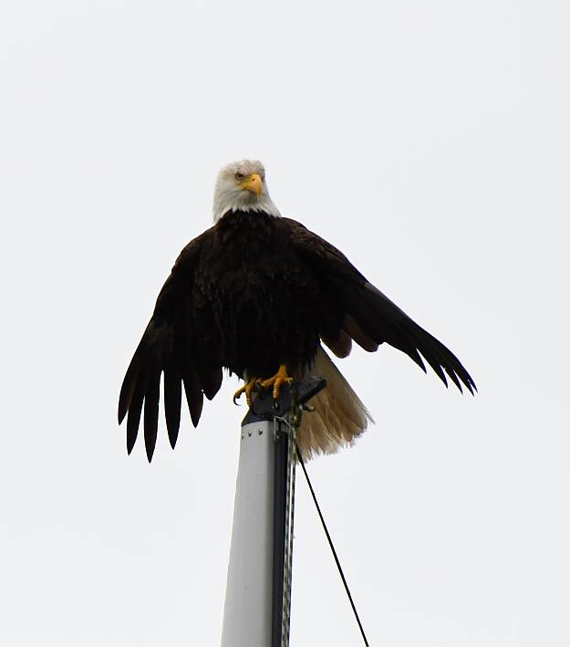 bald eagle drying feathers surrey bc