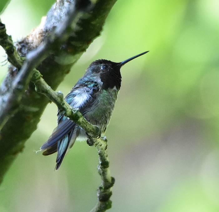 anna's hummingbird burnaby bc