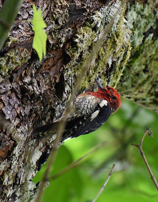 red-beasted sapsucker feeding north vancouver bc