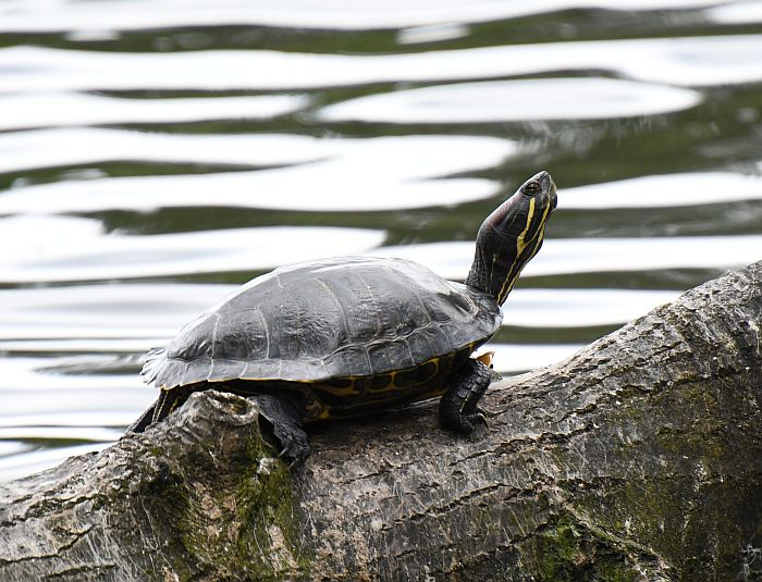 red-eared slider como lake coquitlam bc