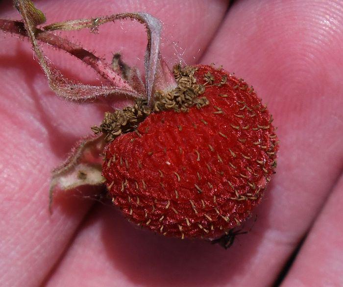 thimbleberry fraser foreshore park burnaby
