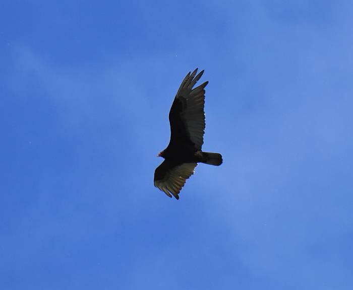 turkey vulture fraser foreshore park burnaby bc