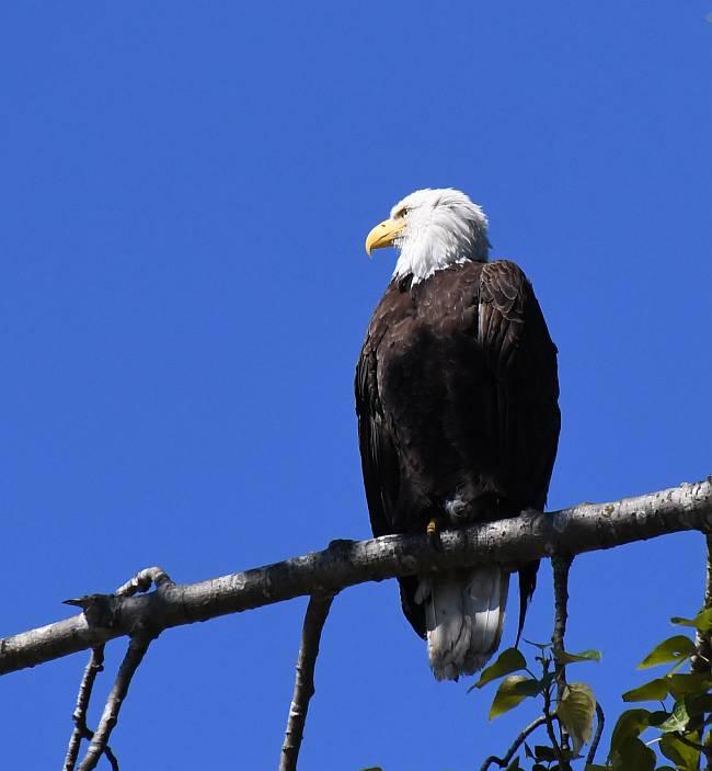 bald eagle burnaby fraser foreshore park