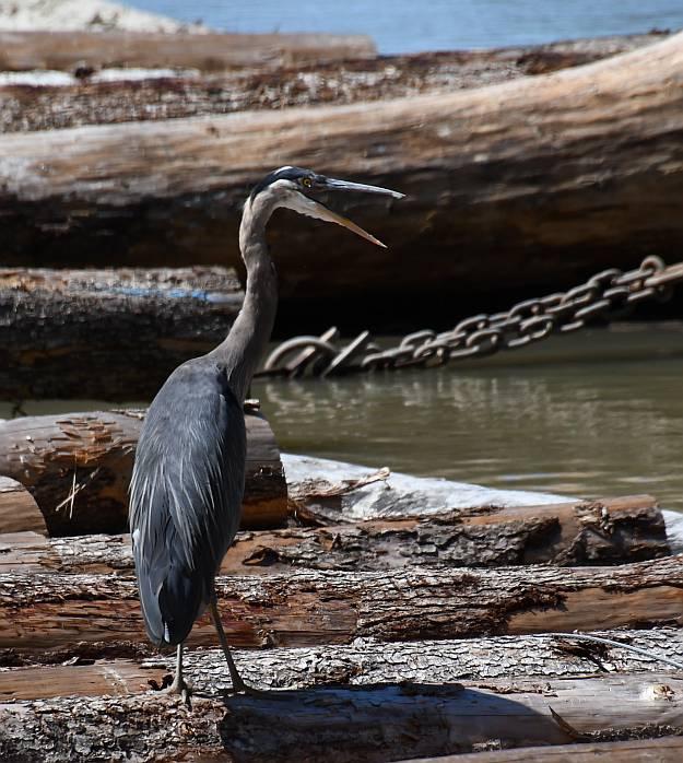 great blue heron burnaby fraser foreshore park