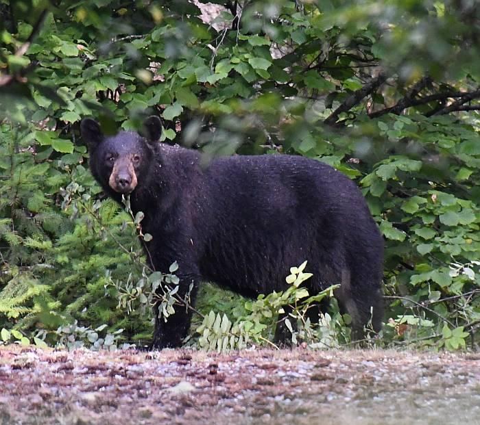 black bear nairn falls provincial park bc