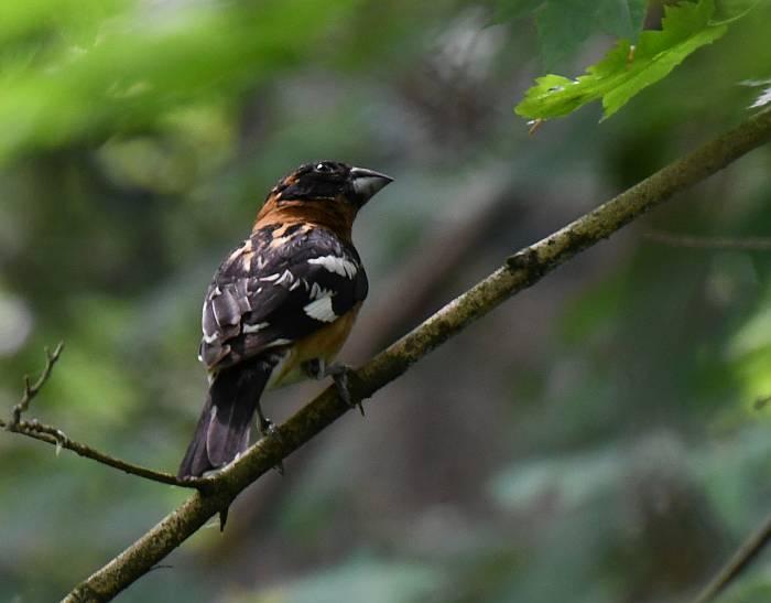 black-headed grosbeak langley bc