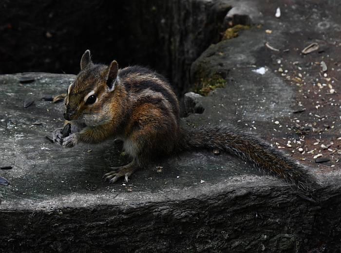 squirrels chipmunks langley bc