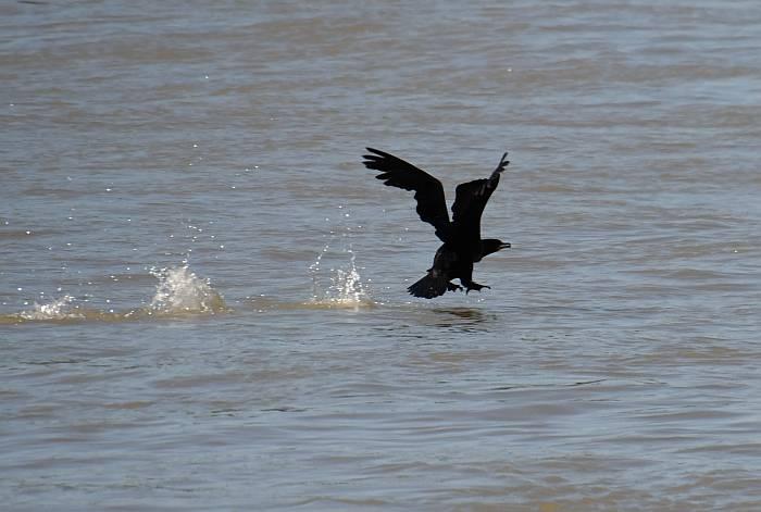 cormorant burnaby fraser foreshore park