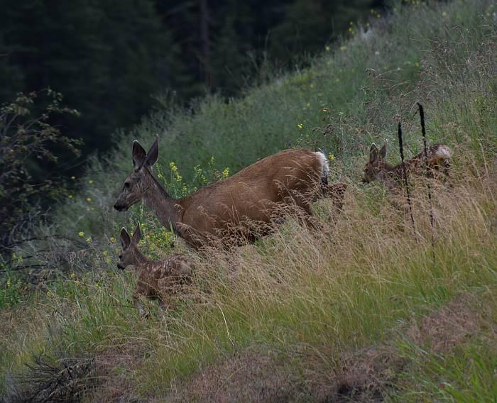 deer crossing 5A BC