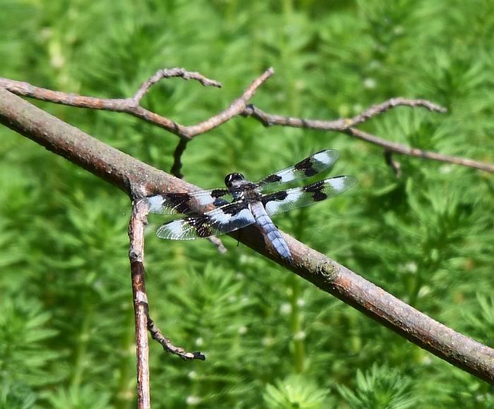 dragonfly burnaby fraser foreshore park