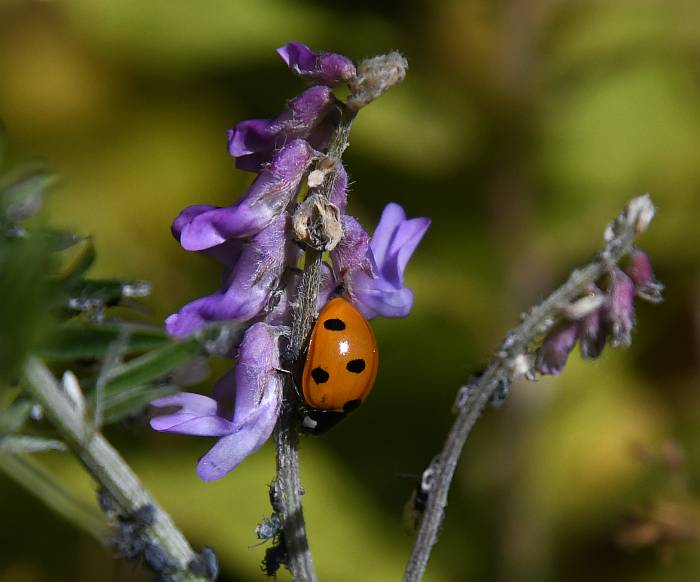 ladybug burnaby fraser foreshore park