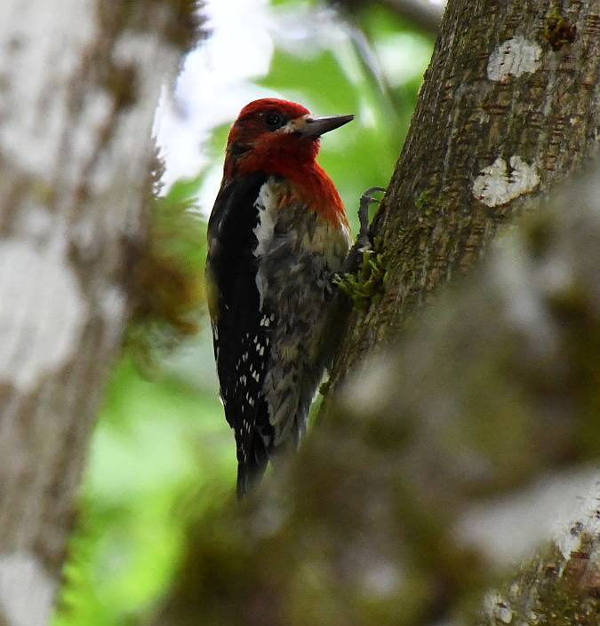 red-breased sapsucker alice lake bc