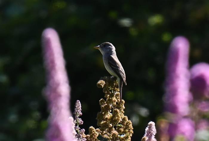sparrow burnaby fraser foreshore park