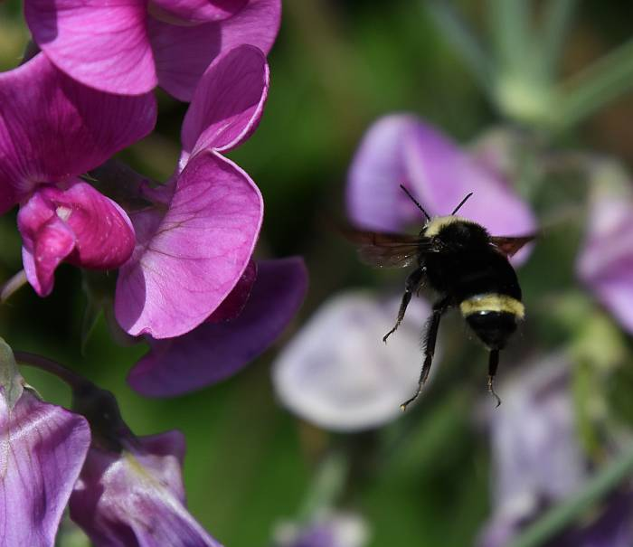 bees wasps garry point park steveston bc
