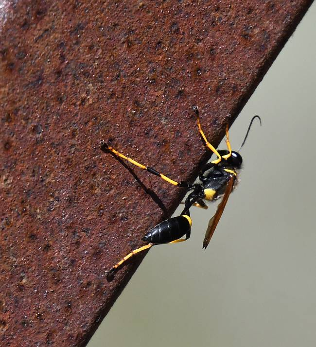 wasp burnaby fraser foreshore park