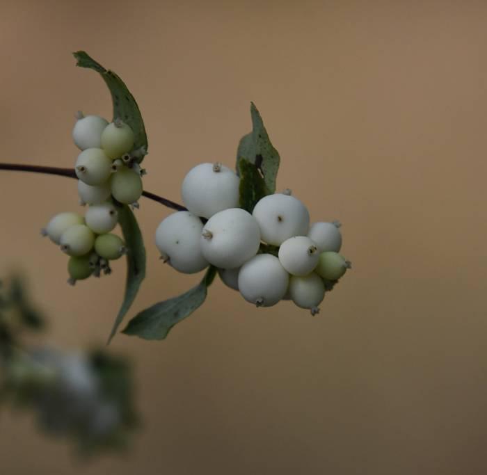 snow berries fraser foreshore park burnaby