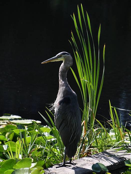 heron burnaby lake bc