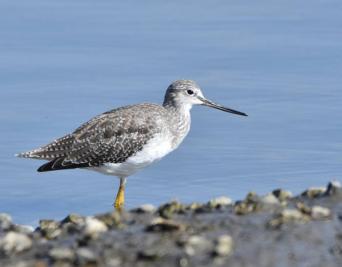 Yellowlegs Surrey BC