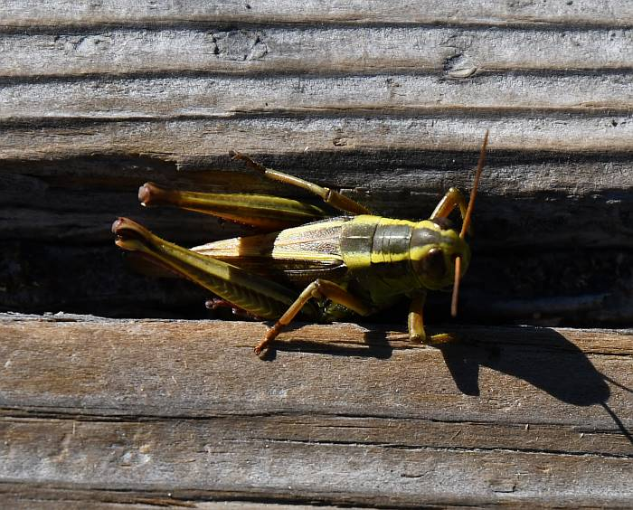 grasshopper one mile lake bc