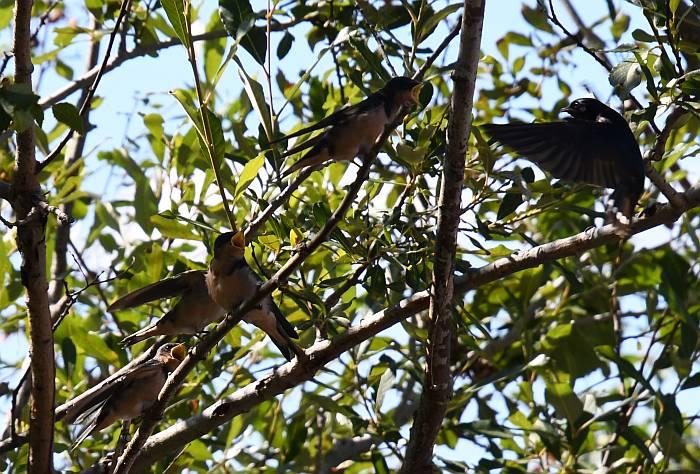 swallows feeding porteau cove bc