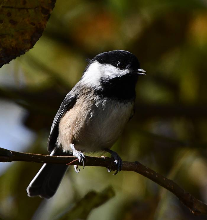 black-capped chickadee fraser foreshore park burnaby bc