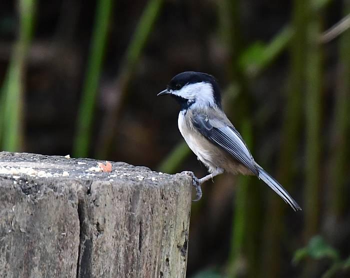 black capped chickadee fraser foreshore park burnaby
