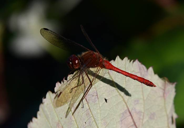red dragonflies fraser foreshore park burnaby