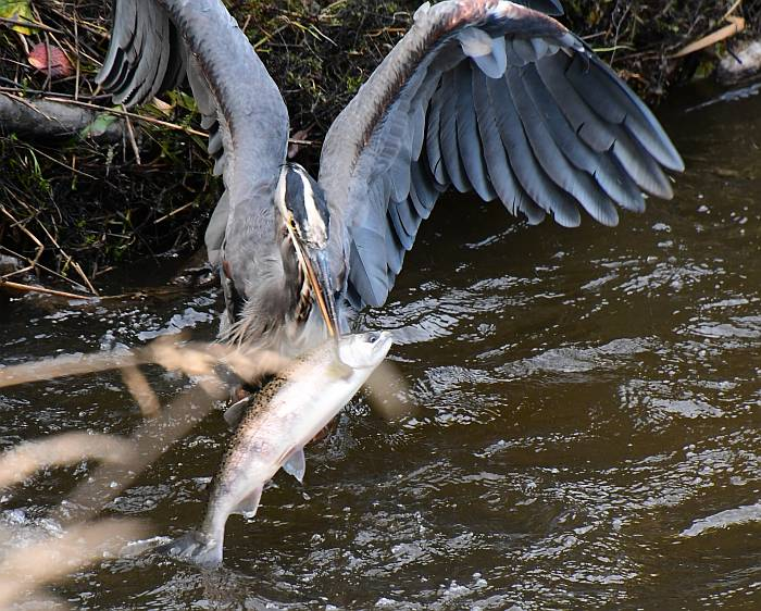 great blue heron swallows large fish byrne creek BC