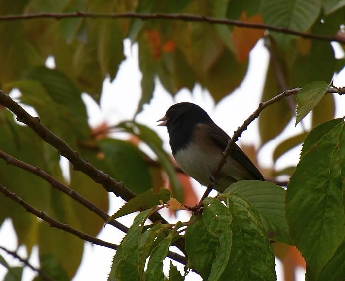 junco garry point park steveston bc