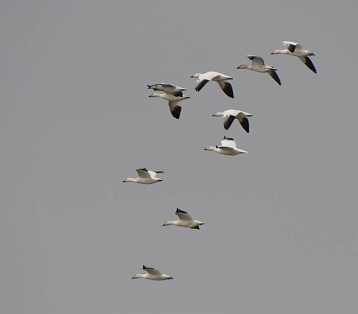 snow geese garry point park steveston bc