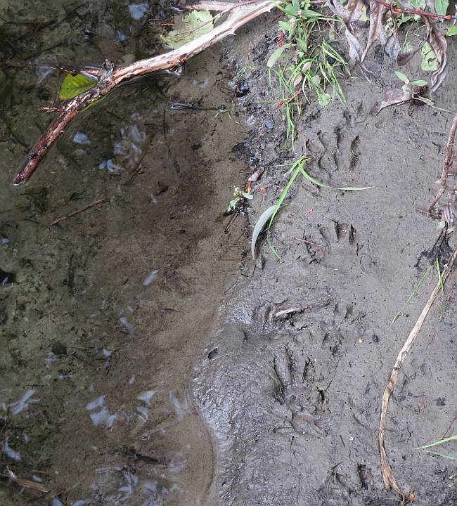 racoon tracks byrne creek burnaby bc