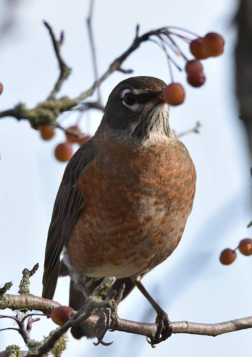 american robin south surrey bc