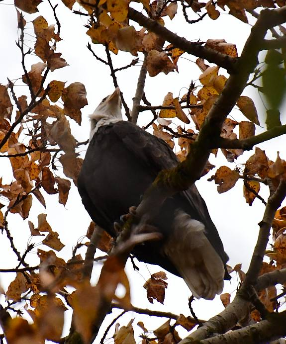 bald eagles fraser foreshore park burnaby bc