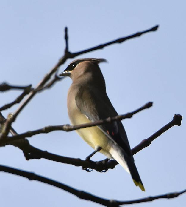 cedar waxwing south surrey bc