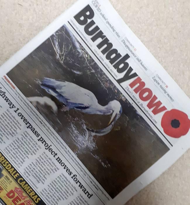 cipywnyk photo heron coho burnaby now cover
