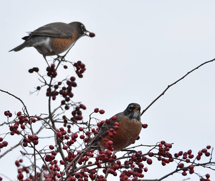 robins eating berries delta bc