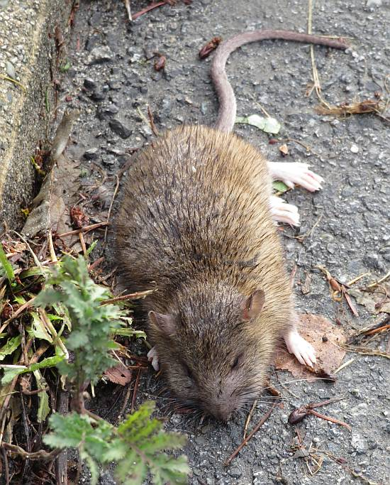 dead rodent byrne creek burnaby bc