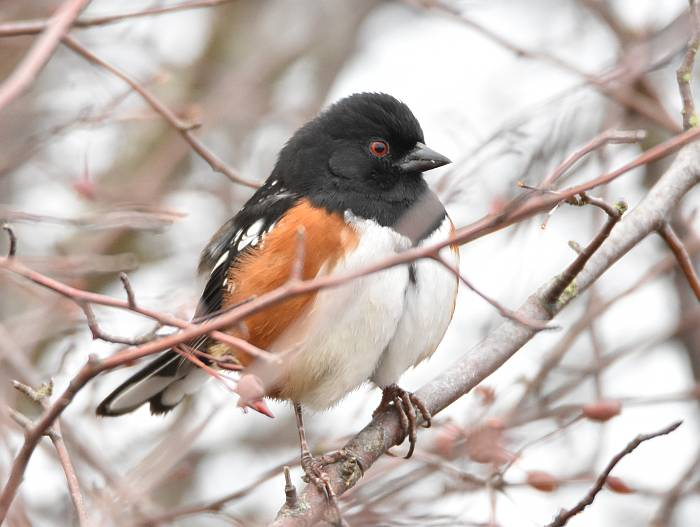 spotted towhee delta bc