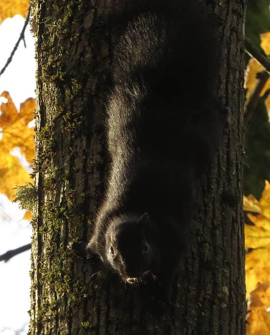 eastern gray squirrel byrne creek burnaby bc