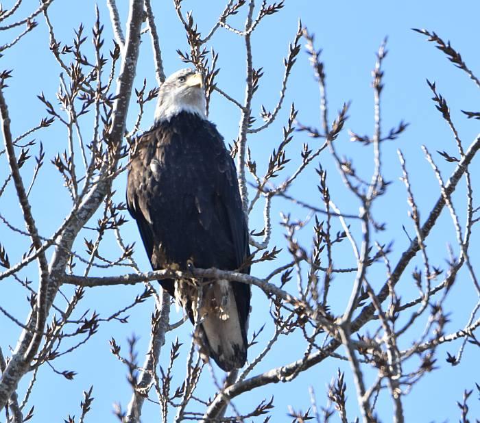 bald eagle centennial beach delta bc