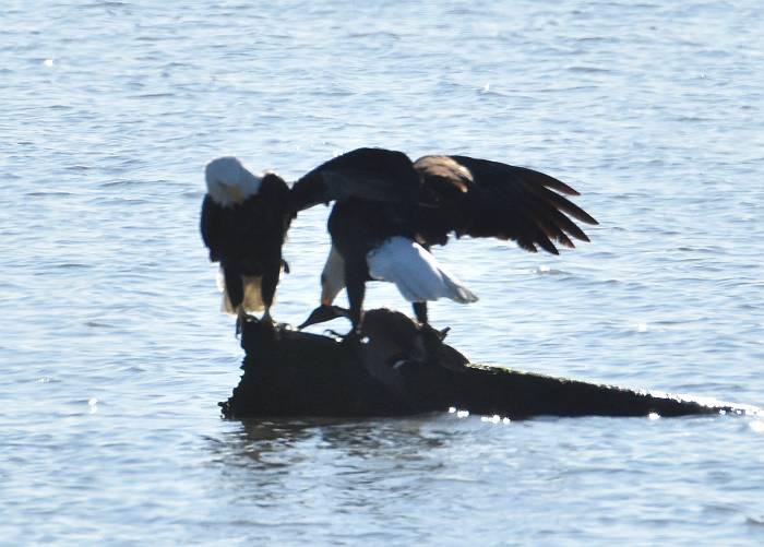 bald eagle kill duck iona beach bc